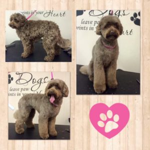 dog-grooming-australian-labradoodle
